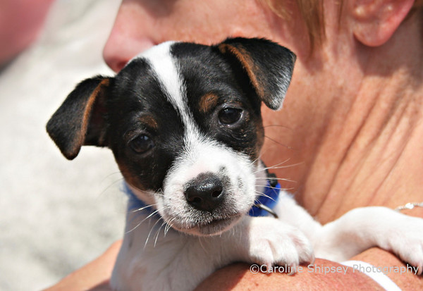 Jack Russell puppy on lady's shoulder