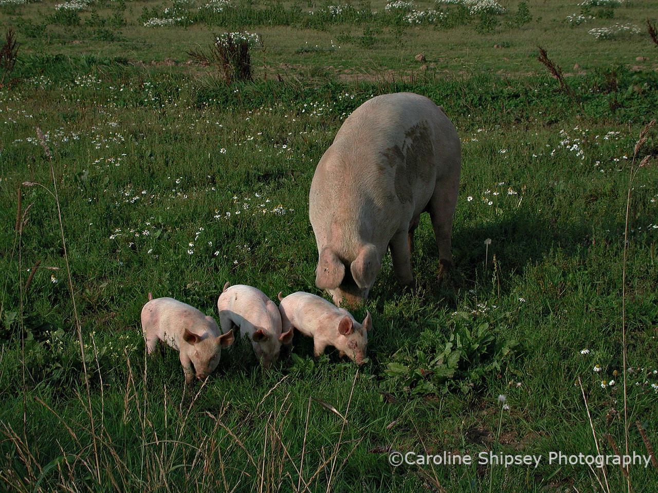 Free range pigs on Mendip near Charterhouse