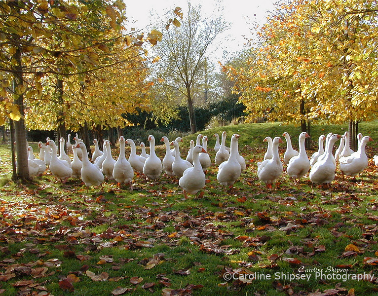 Gaggle of geese 2