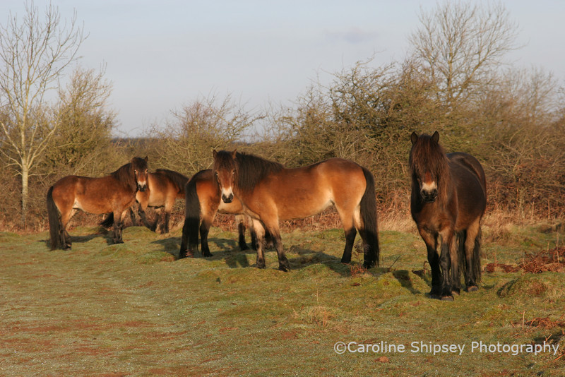 Exmoor Ponies on Burrington Ham