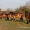 Exmoor Ponies on Burrington Ham