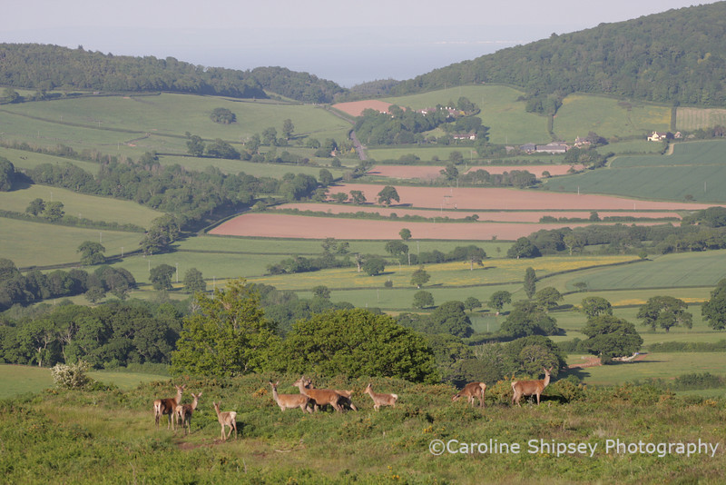 Red Deer on Ley Hill, Exmoor National Park.