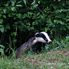 Badger cub emerging from sett