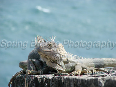 Iguana on El Morro   El Morro, Old San Juan May 2012