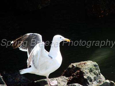 seagull san diego August 2007