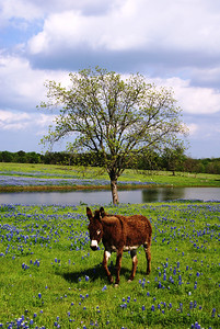Friendly donkey in a field of bluebonnets near Ennis, TX.