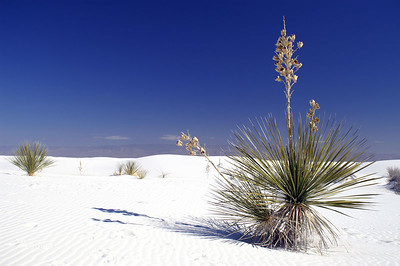 Yucca plants are about the only green plant life to be seen in White Sands...sadly some lose their lives when they are covered by the shifting dunes.