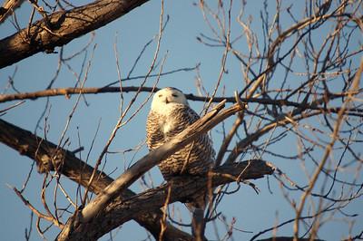Snowy Owl near Smithville Lake