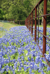 Row of bluebonnets along fence near Ennis, TX.