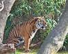 Tiger at National Zoo