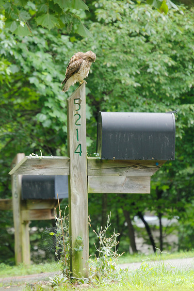 juvenile red-shouldered hawk on Tyree's mailbox 7/2013