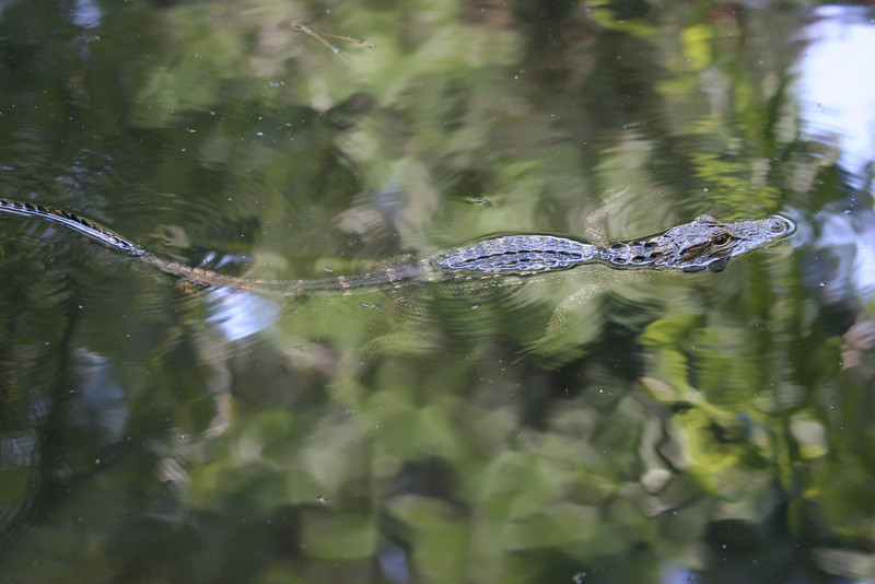 Alligator in the marsh at Hilton Head, SC
