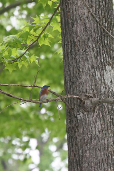 bluebird at Hyco Lake, NC