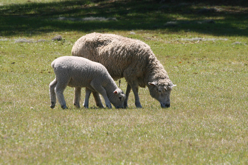 grazing sheep on Charleston,SC plantation