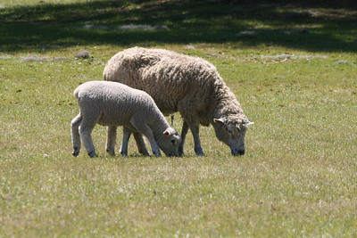 grazing sheep on Charleston,SC plantation