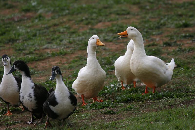 duck party - Lake Junaluska, NC