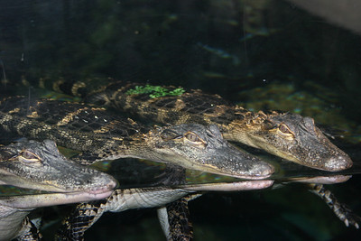 crocks at the Atlanta Aquarium