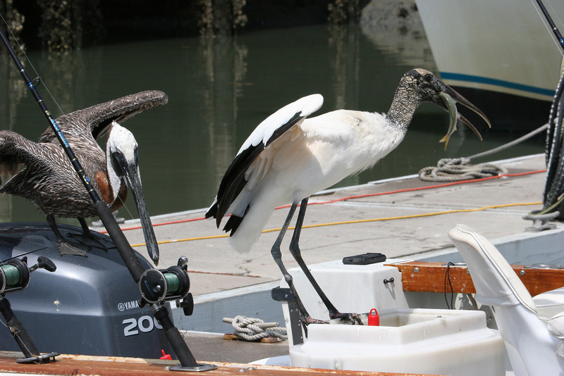 Pelicans stealing bait from a cooler a fisherman had accidentally left open when he went inside the marina.  It was hilarious! Hilton Head, SC
