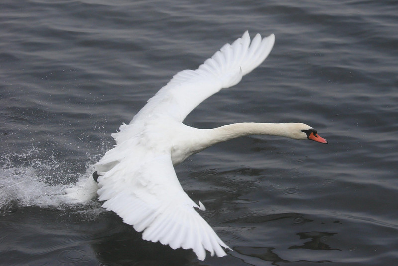mute swan about to take off - Lake Junaluska, NC