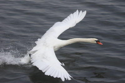 mute swan about to take off - Lake Junaluska, NC