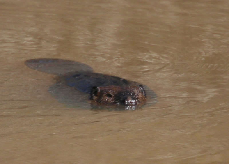 Larry the PIney Mountain Pond Beaver (briefly)