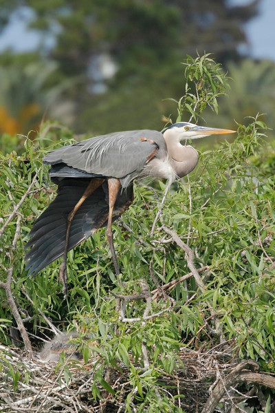 the adult blue heron has long and showy plumes on its head, breast, and back while it is in the breeding season - hatchlings are in the nest