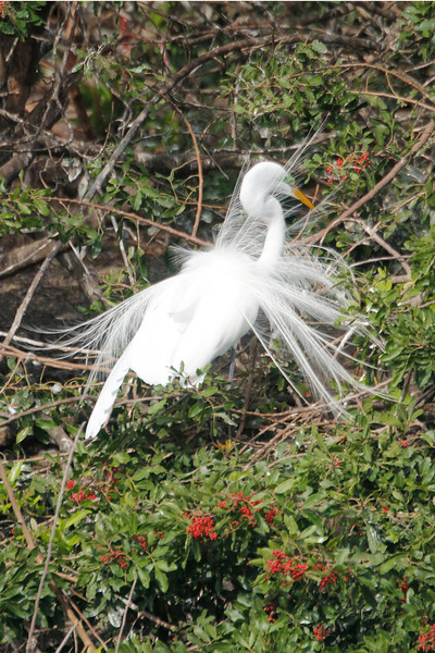 """Great Egret with breeding plumage called """"aigrettes"""""""