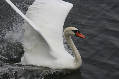 mute swan at Lake Junaluska, NC
