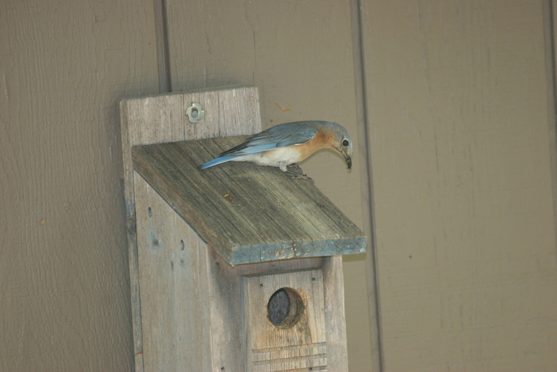 bluebird at home on Hyco Lake, Semora, North Carolina