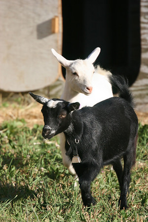 backyard goats in Vineland, NC