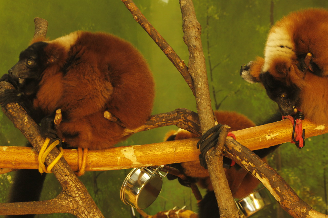 red-ruffed lemurs