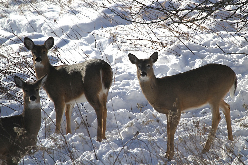 Whitetail Deer<br /> Trempealeau County