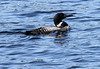 Loon, with feathers in beak from start of fall molt