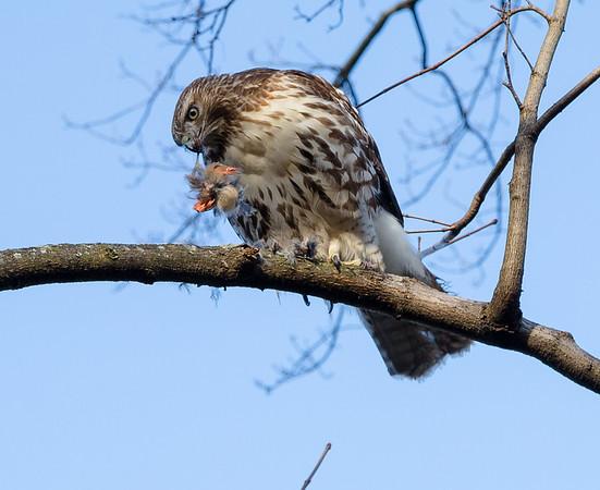 Hawk feeding #1