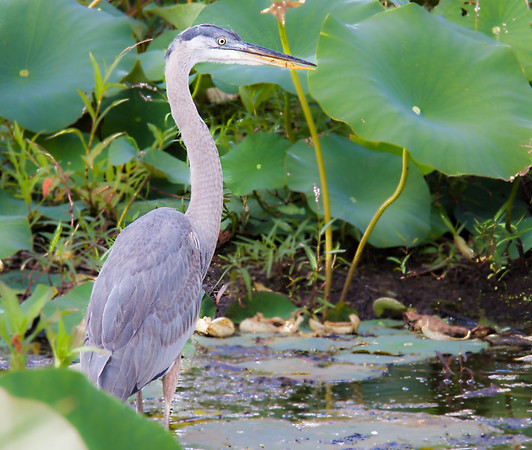 Great blue heron in lotus plants