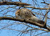 Cooper's hawk eating lunch