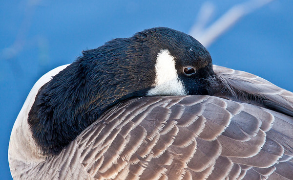 Canada goose resting during fall migration