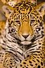 Leopard in Milwaukee County Zoo