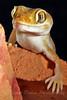 Frog-eyed Dune Gecko ~ Stenodactylus Petrii