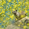 Ground Squirrel 334