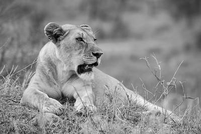 Lion in Serengeti National Park, Tanzania