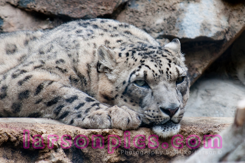 "The snow leopard (Panthera uncia or Uncia uncia), sometimes known as ""ounce,"" is a moderately large cat native to the mountain ranges of Central Asia."