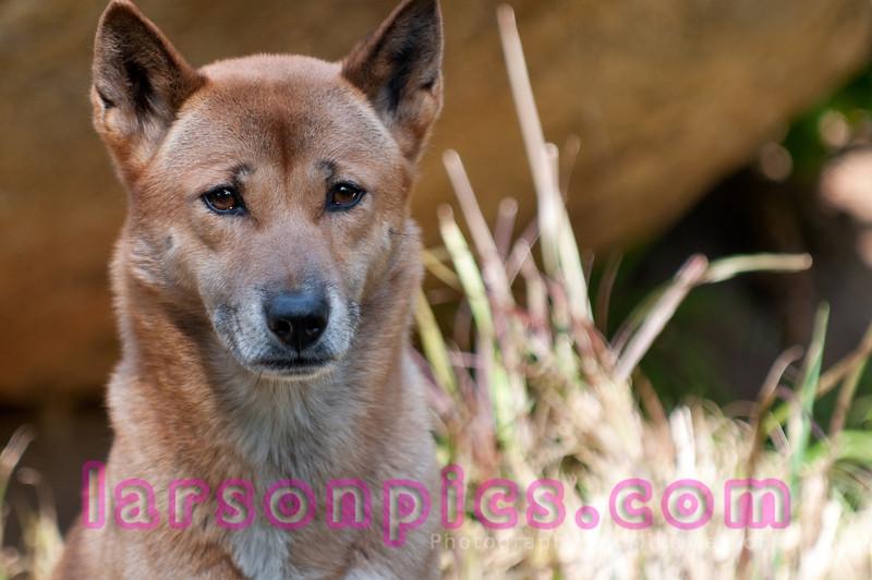 New Guinea Singing Dog