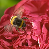 A busy bee on a peony