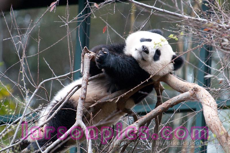 Panda Sunning himself