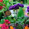 Monarch Butterfly in an Explosion of Color