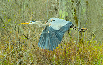 Great Blue Heron, at lake edge and Red Maple swamp, 47th Lat North.