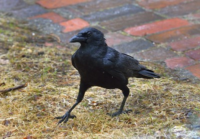 Here seen in a light, cold Spring rain, this American Crow (Corvus brachyrhynchos) is a member of a group of four crows that remains year-round outside my Maine home. This crow is walking within about 15' from me. It is after some peanuts I threw out for it. Crows are crazy for peanuts; April 2014.  http://animaldiversity.ummz.umich.edu/accounts/Corvus_brachyrhynchos/