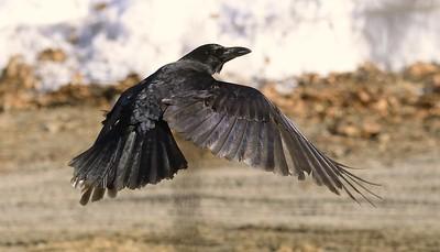 a Maine-residing American Crow (Corvus brachyrhynchos)