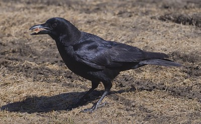 a Maine-residing American Crow (Corvus brachyrhynchos).  Ok, if you must know, it is a piece of chicken breast.